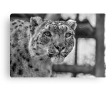 Snow Leopard (3) Canvas Print