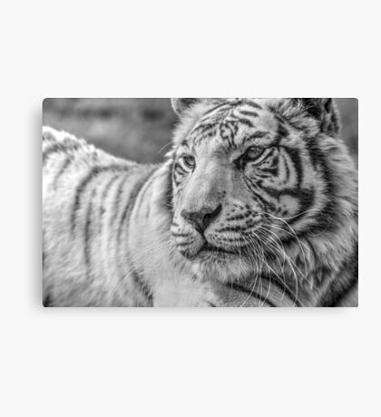 White Bengal Tiger (3) Canvas Print