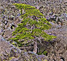 Hemlock - On the Rocks by John Butler