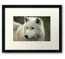 Artic Wolf  Framed Print