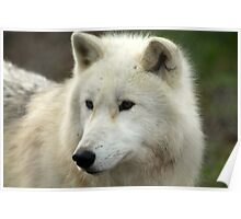 Artic Wolf  Poster