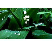 Lily of the Valley.  Photographic Print