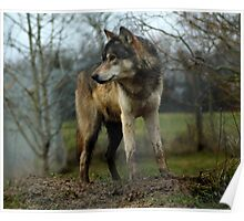 Grey Wolf Standing Poster