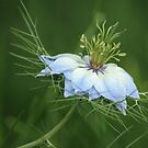 Nigella Damascena by Tracy Friesen