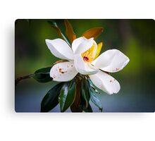 Magnolia Bloom on Water Canvas Print