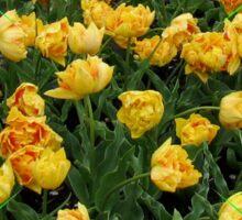 Fancy Tulips - Keukenhof Gardens Sticker