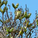 Blue Tit by KMorral
