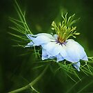 Nigella Damascena (Painterly Version) by Tracy Friesen