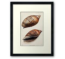 Proceedings of the Zoological Society of London 1848 - 1860 V5 Mollusca 047 Framed Print
