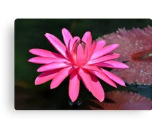 Large Pink Water Lily Canvas Print
