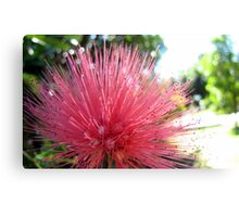 Fluffy pink powder puff flower Canvas Print