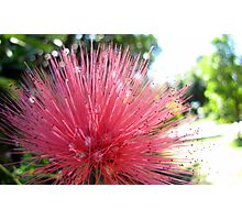 Fluffy pink powder puff flower Photographic Print