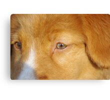 Toller Face Canvas Print