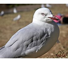 Seagull in Wollongong (1) Photographic Print