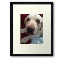 Grady the lab Framed Print
