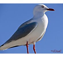 Seagull in Wollongong (6) Photographic Print