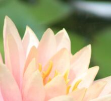 PINK WATER LILY IN POND Sticker