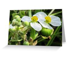 Broadleaf Arrowhead (Sagittaria latifolia)  Greeting Card