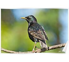 European Starling in a Tree Poster
