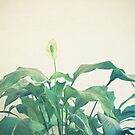 Peace Lily by Cassia Beck