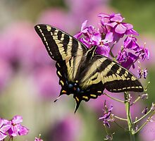 WESTERN TIGER SWALLOWTAIL BUTTERFLY by Sandy Stewart
