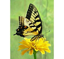 Eastern Tiger Swallowtail Butterfly Photographic Print