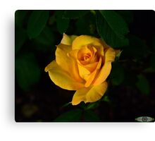 First yellow rose of the season Canvas Print
