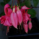 Fuchsia............pretty in  pink......!  by Roy  Massicks