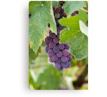 grape and vineyard Canvas Print