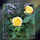 two yellow roses by feiermar