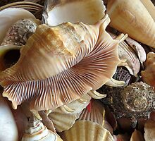 Shells 5 by Carolyn  Fletcher