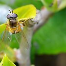 My First Hoverfly of 2016 by relayer51