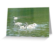 Signets / baby swans Greeting Card
