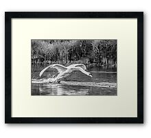 Swan landing on Irish Lake  Framed Print
