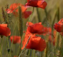Poppies in a field. Sticker