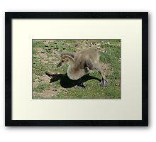 Gangly Canada Goose Gosling Framed Print
