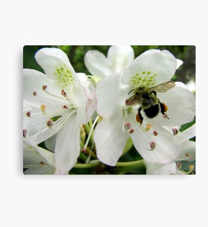 Pollen Packing Bumble Bee Canvas Print