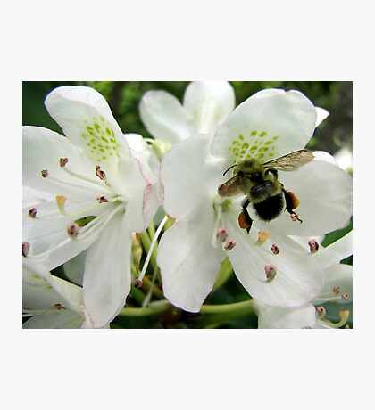 Pollen Packing Bumble Bee Photographic Print