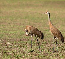 Sandhill Cranes 2016-1 by Thomas Young