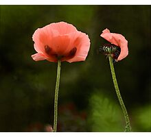 Couple Pink Oriental Poppies  Photographic Print