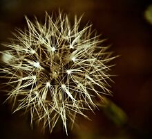 Dandelion Sparkler by Barbara  Brown