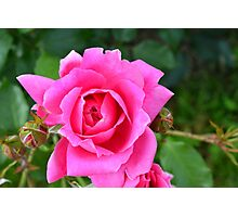 Pink roses in the garden. Photographic Print