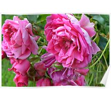 Pink roses in the garden. Poster