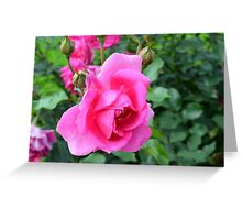 Pink roses in the garden. Greeting Card