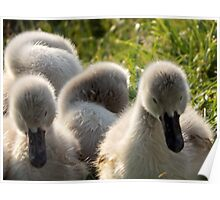 Little cygnets  Poster