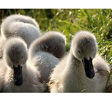 Little cygnets  Photographic Print