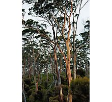 Gum Trees - Marion Bay Photographic Print
