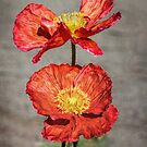 Poppies by BMKphotography