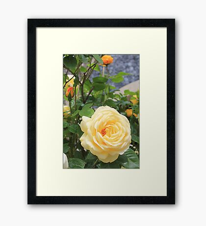 Peach rose. Framed Print