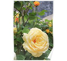 Peach rose. Poster